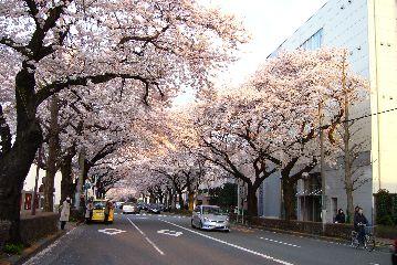 hanami2009.jpg